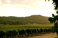 Take a relaxing walk through the local vines