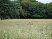 Deer at Bolotho