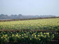 Daffodils by Bolotho