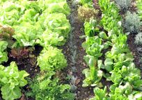 Pick herbs & salads from the garden