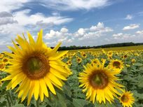 surrounding sunflower fields