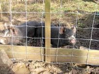 Our 2 pigs - George and Mildred