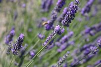 Lavender at the villa