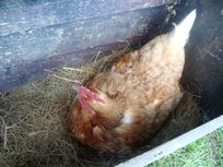 The Hen House Image 24