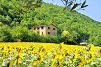 Santa Chiara amongst the sunflowers