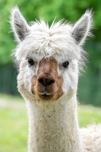 Tomasso, one of our friendly alpacas