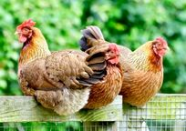 Quakers - Tregongeeves Farm Image 6