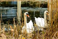 Swans on the trout pond behind the house