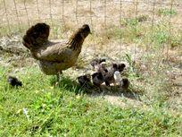 Chicken feeding every morning
