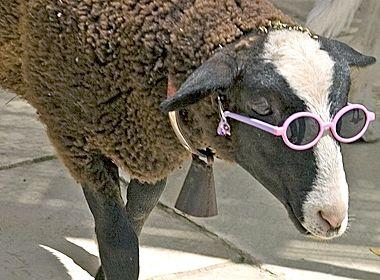 Lamb with attitude