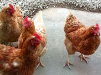 Our chickens for fresh eggs