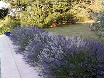 Lavenders arround the pool