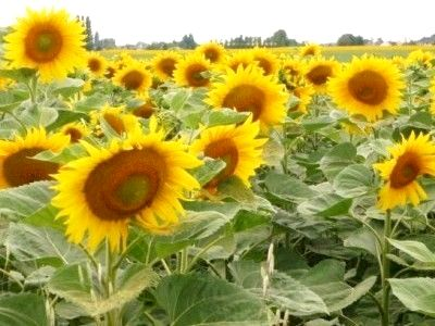 High summer will bring sunflowers all around in the Loire Valley