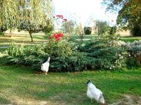 Hens and ducks roam freely