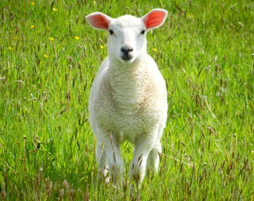 Lamb at Bolotho