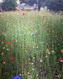 wildflowers at Hogchester