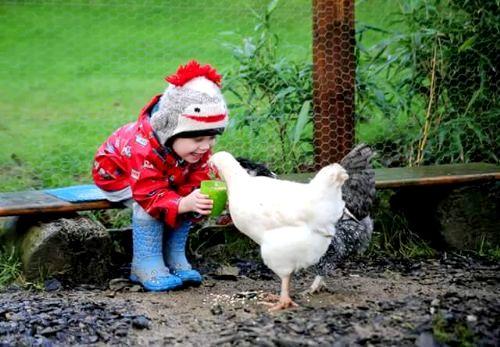 Little Chicken Feeding Girl