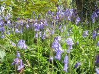 Bluebells - Godolphin Woods