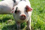 One of our cute little piggies!