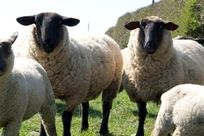 Meet our flock of sheep and lambs at animal feeding