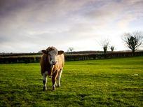 Working organic beef farm