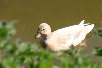 One of our pretty Call ducks that provide endless entertainment on our pond