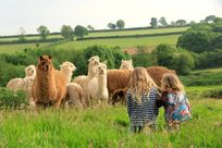 Friendly alpaca on the farm