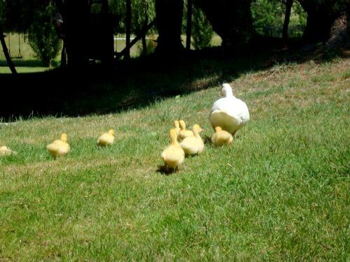 Ducks enjoy roaming free too!