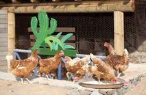 Free Range Chicken - Fresh Eggs