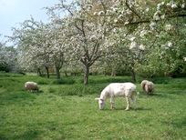 Nana the donkey in the orchard