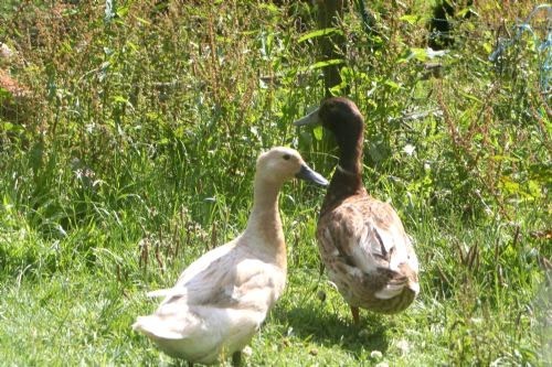 The Hayloft - ducks in the Orchard - help with feeding?