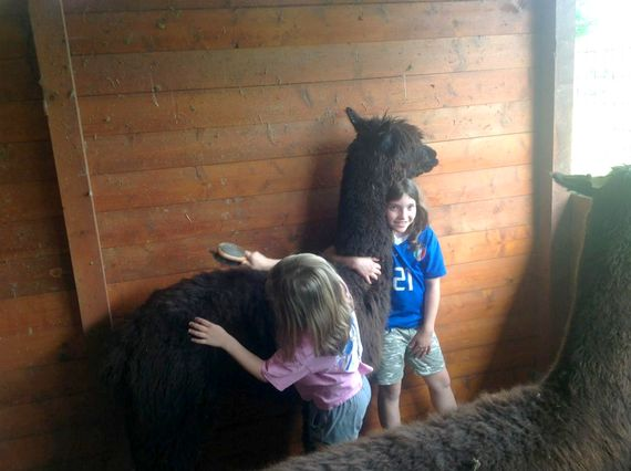 Looking after the Alpacas