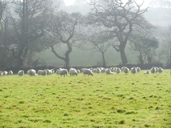 Sheep in our field
