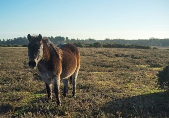 A New Forest Pony looking into the garden