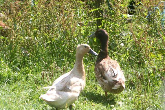 Ducks to feed