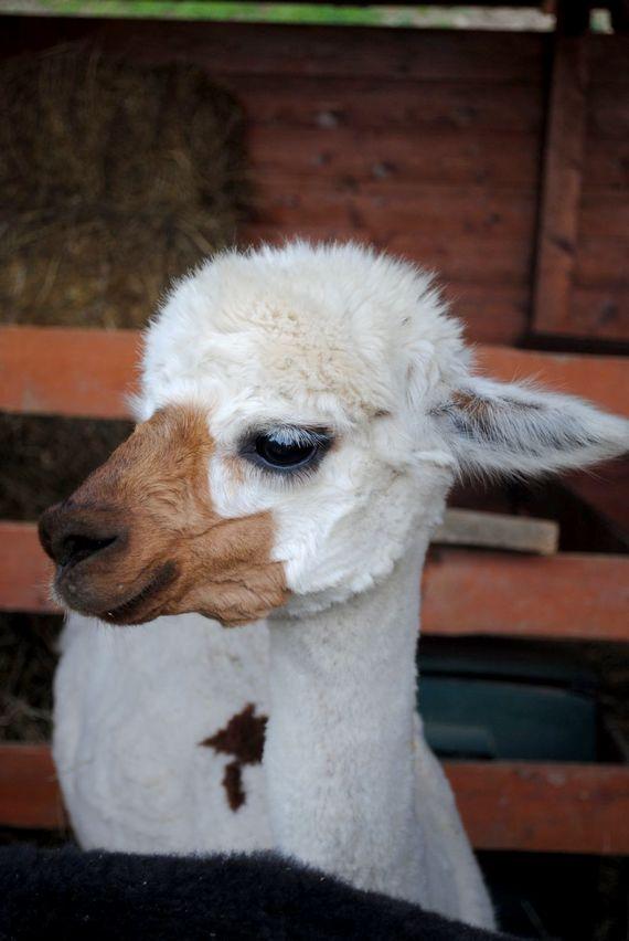 Please help feed the alpacas every morning