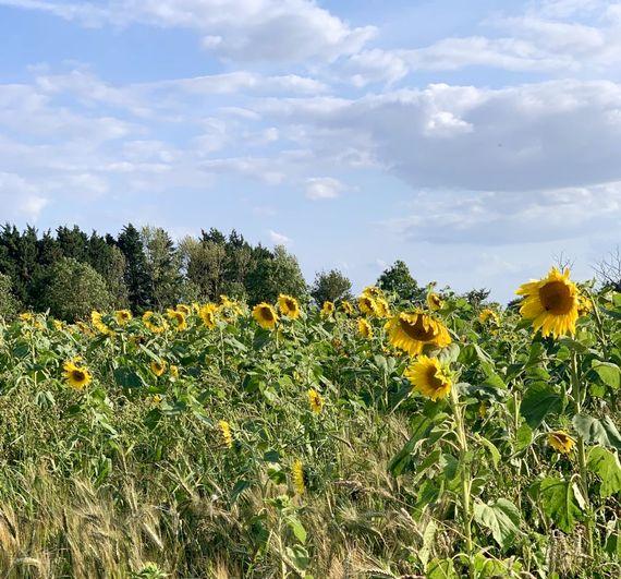 A field of sunflowers in a neighbouring farmer's field