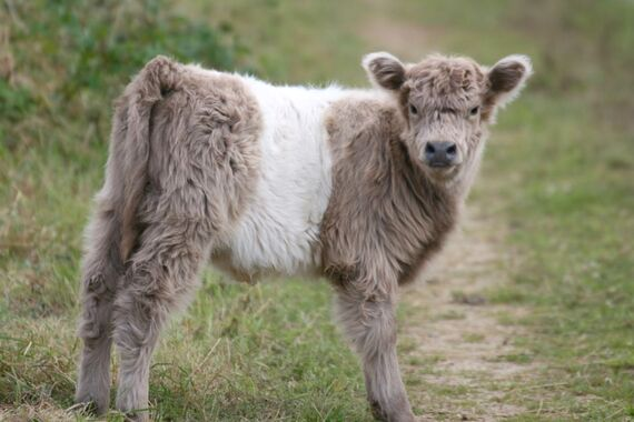 Resident Belted Galloway calf