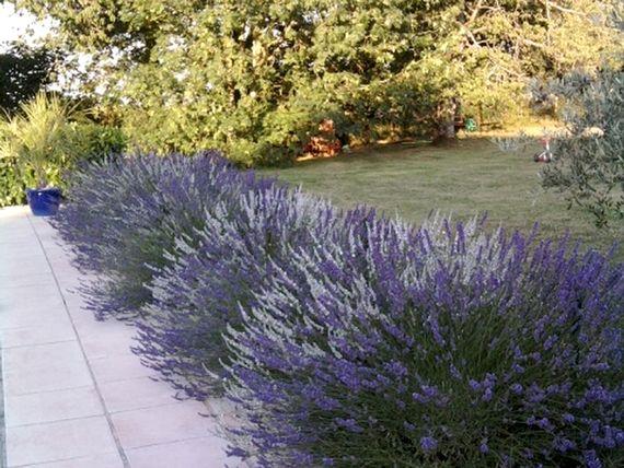 Lavenders arround the pool