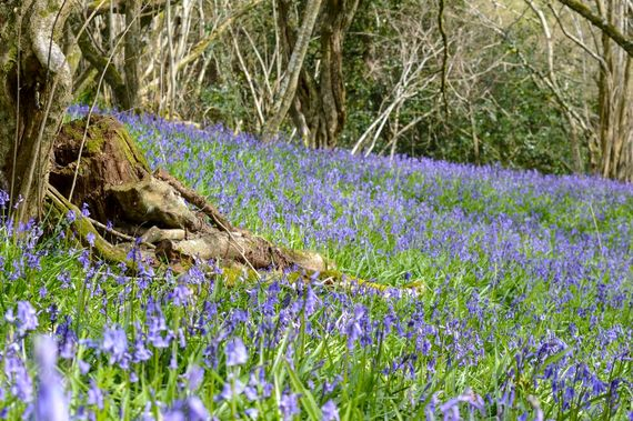 The Bluebell Wood in Spring
