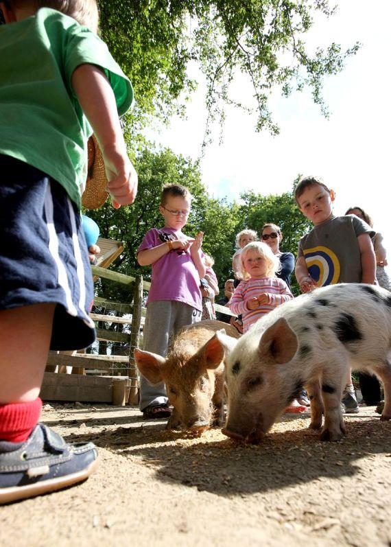 Daily farm animal feeding at Clydey