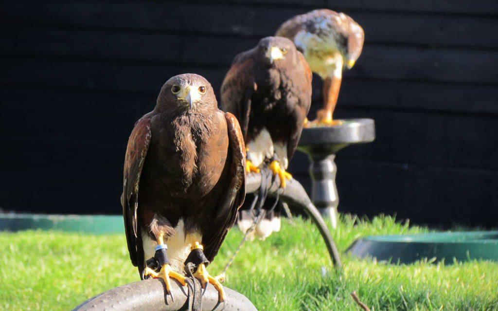 Yarak Birds of Prey